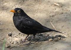 Blackbird 1 20160501 (Steve TB) Tags: canon blackbird winghamwildlifepark eos7dmarkii