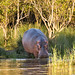 Heading to water.  ISimangaliso Wetland Park