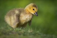 Gosling (mLichy911) Tags: seattle portrait baby cute green nature closeup canon spring fuzzy goose handheld wa gosling waterfowl pnw detailed lowangle youlookinatme widllife 500f4 7dmarkii