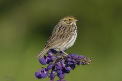Savannah Sparrow on Lupine (shimmer5641) Tags: lupin lupinus savannahsparrow richmondbc passerculussandwichensis lupineflower birdsofbritishcolumbia birdsofnorthamerica purplelupineflower