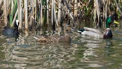 ...Three's a crowd.... (PRA Images) Tags: birds duck wildlife mallard coot anasplatyrhynchos wildfowl fulicaatra pilsworth