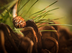 Pine cones and pine needles (pierrednepr) Tags: pine objects olympus pinecones macromondays beginwiththeletterp