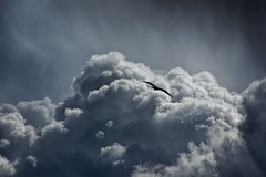 Into the clouds (Anthony Goodall) Tags: uk blue storm bird nature rain weather natural seagull dramatic