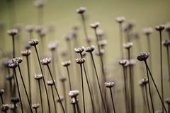 La belleza de lo ms simple (www.justigarcia.com) Tags: planta campo sencillo efmero