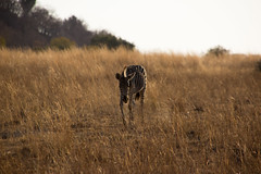 Zebra walk (felipeepu) Tags: africa south safari zebra südafrika steppe