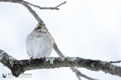 White Throated Sparrow (Mark C Morris Photography) Tags: snow nature birds flight cornelllabofornithology canon7dmarkii canon100400ii