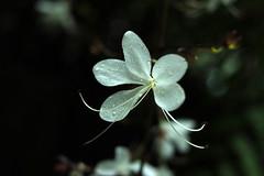 (noidcanuse2011) Tags: white plant flower droplet m43 gf2 lumixg20f17