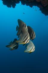 IMG_4601_1 (PaoloLora) Tags: white fish black bay divers ray underwater paolo turtle bat dive scuba diving reef maldives manta lora maldive dharavandhoo hanifaru
