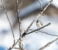 quabbinwinter2016-401 (gtxjimmy) Tags: winter bird mouse nikon tit massachusetts newengland reservoir tufted quabbin tamron songbird quabbinreservoir d600 watersupply nikond600 150600mm
