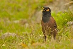 noisy Common Myna at Kaziranga NP, India (cirdantravels) Tags: martin myna maina acridotheres