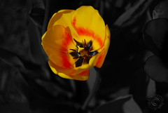Yellow Tulip With Red Highlights (Selective - Explored 1/28/16) (J Swanstrom (Thanks for all the comments and favs)) Tags: red bw flower color yellow nikon bright vivid petal tulip bloom brilliant selective d80 jswanstromphotography