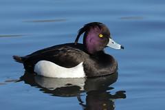 Tufted Duck male (Hammerchewer) Tags: duck outdoor wildlife tuftedduck