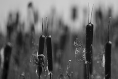 Frosty Bullrushes (Keith Grafton) Tags: bw reeds frost bullrushes leightonmoss