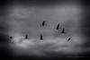 Flight,  Hula Valley, Israel (jev) Tags: sky blackandwhite bw monochrome birds silhouette israel crane noctilux migration filmnoir hulavalley nocti agamonhahula 06000000 06007000 leicam9 noctiluxm50mmf095asph leicaimages shoulete