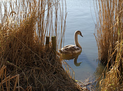 swan (dick_pountain) Tags: winter london water reeds swan pond cygnet parliamenthill