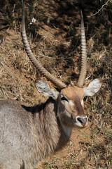 Kobus ellipsiprymnus  (Waterbuck) (Nick Dean1) Tags: canon antelope bovidae krugernationalpark kobus waterbuck lowersabie kobusellipsiprymnus sabieriver canon7d