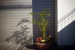 DSC01157c2 (haru__q) Tags: shadow plant sony summicron a7 植物 影 leitz