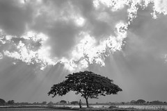 A lone Tree (Naveen Gowtham) Tags: life blackandwhite bw love nature canon landscape lost blackwhite alone ngc save lone lonely ng agriculture blacknwhite nationalgeographic naveen agri savenature saveearth alonetree canon600d gnaveen agrifield naveensphotography naveengowtham naveeng naveengowthamphotography