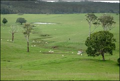 Cattle on D'aguilar Range Mt Mee-1= (Sheba_Also) Tags: mt cattle range mee daguilar