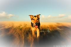 Tribute To Bailey our beloved pet dog Alsatian/Kelpie cross. (Lensational) Tags: family dog pet love loss animal wales friend memorial carmarthenshire best tribute sorrow alsatian grief k9 kelpie bereft crwbin