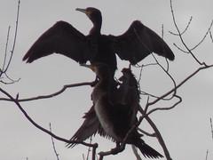 (aloia del norte) Tags: cormoranes cormoran asturies xixn