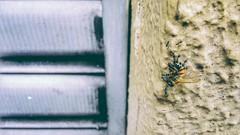 commitments (Rodrigo Alceu Dispor) Tags: insect ant bee