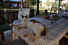 2015_Aralk_27 (zonacsreen) Tags: pet cats animal cat pussycat