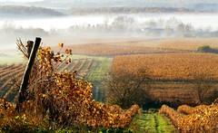 Automne en Cognac - Autumn in Cognac - [Explore] (Jean-Luc Peluchon) Tags: vine mist fog brouillard vigne charente cognac france automne autumn explore 1000faves fz1000 wow