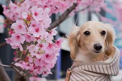 IMG_0594 (yukichinoko) Tags: dog dachshund 桜 sakura 犬 kinako ダックスフント ダックスフンド きなこ