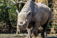 Black Rhino at the St. Louis Zoo (five til noon) Tags: st zoo louis us unitedstates stlouis missouri rhino stlouiszoo rhinoceros blackrhino