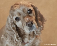 The eyes of an angel or ... (Denise Trocio (D Trocio Photography)) Tags: dog pet animal textures digitalpainting lucky cockerspaniel topaz luckycharm americancockerspaniel domesticanimal topazclean dtrociophotography