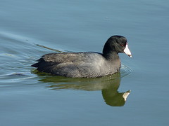 American Coot (Dendroica cerulea) Tags: winter bird newjersey waterfront nj rail waterbird aves coot perthamboy americancoot fulicaamericana fulica gruiformes middlesexcounty rallidae