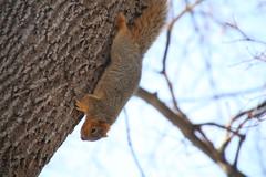 Squirrels in Ann Arbor at the University of Michigan (March 7, 2016) (cseeman) Tags: squirrels annarbor michigan animal campus universityofmichigan umsquirrels03072016 winter eating peanut marchumsquirrel gobluesquirrels umsquirrel foxsquirrels easternfoxsquirrels michiganfoxsquirrels universityofmichiganfoxsquirrels