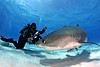 9N0A8918 - Version 2 (sharkoperator) Tags: fiji tigersharks swimmingwithsharks sharkdiving tigerbeach greatwhitesharks guadalupeisland bullsharks beqalagoon sharkdiver
