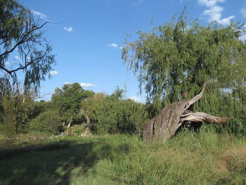 Willow Tree  Stump at Bovenste Oog_2973
