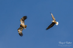 Bald Eagles battle for breakfast - Sequence - 1 of 42