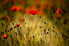 Wild Flowers (Danil) Tags: light red italy plants sunlight holiday flower color detail green field dof daniel poppy vegetation pienza toscana toscane italie klaproos d600 bosma