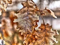 Feuilles de Chne (LT.:.) Tags: tree marron arbre feuille chne
