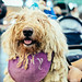 Crufts - Komondor dog