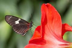 Héliconius doris / Doris Longwing (Heliconius doris) (eve_bg_1 (on / off)) Tags: red flower macro nature fleur closeup butterfly insect rouge montréal outdoor wildlife lepidoptera papillon québec insecte entomologie entomology macrophotography insecta jardinbotaniquedemontréal nymphalidae heliconiinae polymorphism dorislongwing lépidoptère heliconius macrophotographie neotropical polymorphic butterfliesgofree papillonsenliberté heliconiusdoris heliconiini néotropical thedoris laparusdoris nymphalidé papiliodoris espacepourlavie polymorphisme héliconiusdoris