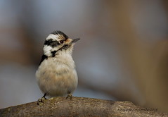 Pic mineur femelle - Downy Woodpecker female (Monique Coulombe) Tags: winter canada nature downywoodpecker picoidespubescens quebec wildlife ngc aves québec nationalgeographic naturephotography winterbirds wildbirds québécois picoides chordata wildnature piciformes picidae birdbokeh picbois canadianwildlife fantasticnature photonature avianphotography fauneduquébec naturebokeh picmineur oiseauxduquébec naturesauvage oiseauxsauvages québecoiseaux oiseauxdhiver birdinginthewild photographequébécois birdsofquebec avibase quebecwildlife québecnaturesauvage québecbirds regroupementquébecoiseaux moniquecoulombe