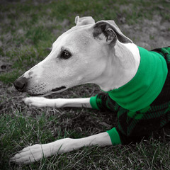 Green (DiamondBonz) Tags: dog pet color green grass sweater hound whippet selective spanky dogchal