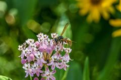 (darlanbarbosa22) Tags: nyc wild summer newyork flower nature animal manhattan bee honey governorsisland 2015