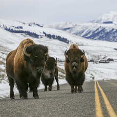 Road Hogs (Scott Joshua Dere) Tags: yellowstone bison trafficjam roadblock tatonka americanbuffalo