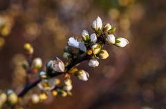 Blossoms in Golden Evening Sun - Vintage Lens (gporada) Tags: macro primavera spring minolta bokeh blossoms printemps frhling schrfentiefe 2016 vintagelens 100faves frhlingserwachen springawakening world100f phvalue sonyphotographing sonya7ii ilce7m2 gporada