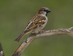 House Sparrow, male (AllHarts) Tags: ngc npc memphistn backyardbirds malehousesparrow naturesspirit naturescarousel thesunshinegroup