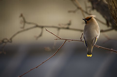 Waiting for the Barber (flashfix) Tags: portrait ontario canada tree bird nature animal nikon branch ottawa twig waxwing mothernature bohemianwaxwing 2016 d7000 nikond7000 55mm300mm 2016inphotos april122016