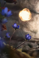 watching the sun (stefady78) Tags: wood flowers naturaleza blur flores macro primavera luz nature backlight fleurs canon de la spring madera awakening alba bokeh natur 15 blumen natura anemone fiori makro holz campagne printemps fondo flou controluce bois frhling bosco anmona anmone campaas campaigns sfocato despertar risveglio desenfocar campagnes telemegor kampagnen hintergrundbeleuchtung rtroclairage