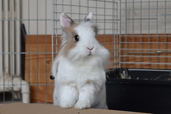 Fluffy (peachmarine) Tags: pet rabbit bunny animal dwarf selection extra lapin lionhead nain slection pinou ttedelion tetedelion