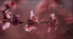PRIMAVERA .(NECTARINA EN FLORACION) (TOYOGRACOR) Tags: flowers flores color macro green planta primavera fleur canon plantas flickr dof fav50 blossom bokeh flor blossoms jardin rosa explore desenfoque bloom flowering wildflowers fiore soe blooming prunus melocoton jardineria godlovesyou fav100 floracion prunuspersica nectarina bej frutales mywinners aplusphoto flickrdiamond hauseplant nactarina theoriginalgoldseal mygearandme mygearandmepremium mygearandmebronze mygearandmesilver flickrsfinetsimages1